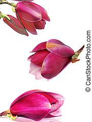 magnolia, flores