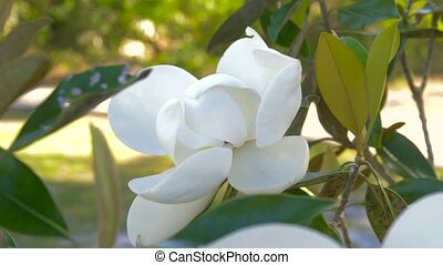 Magnolia flower blooming. Beautiful white magnolia flower in...