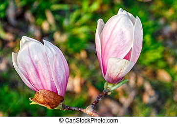 Magnolia flower blossom in spring - beautiful spring...