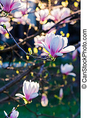 Magnolia flower blossom in springtime - Beautiful springtime...