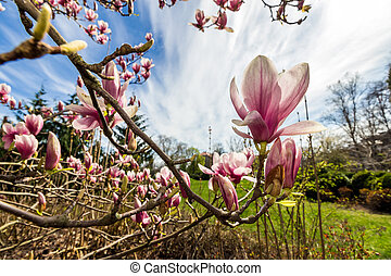 magnolia flower branch close up on a blur background of...
