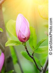 Magnolia flower bud in spring time, retro vintage hipster...