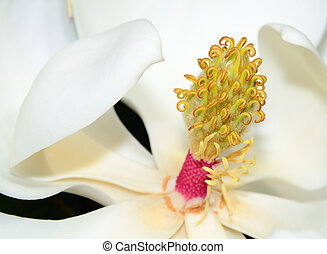 Magnolia Flower - Close up of a magnolia flower