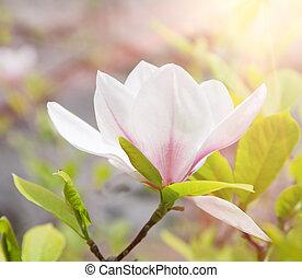 magnolia flower in spring