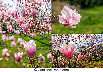 magnolia flower on a blurry background image set - set of...
