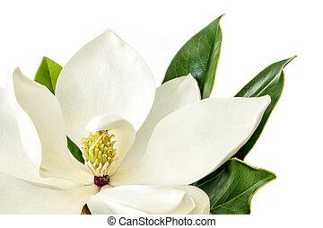 Magnolia Flower over White Background - Single Magnolia...