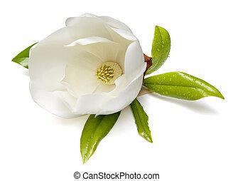 Magnolia Flower - Southern Magnolia (Magnolia grandiflora) ...