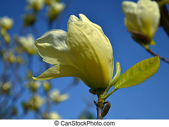 magnolia flower, tree branches with large fragrant flowers