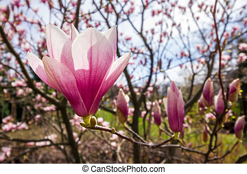 magnolia flower wide angle close up on a blur background of...