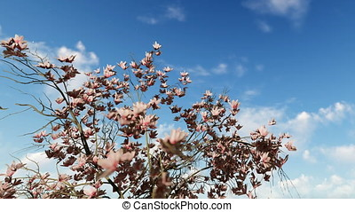 Magnolia flowers against beautiful blue sky, zoom out