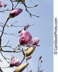 Magnolia flowers against the blue sky. Spring pink flowers of magnolia.