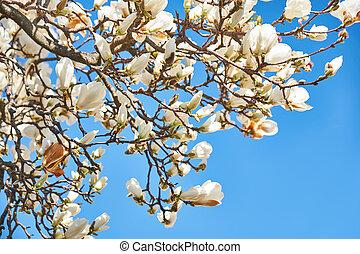 Magnolia flowers against the blue sky
