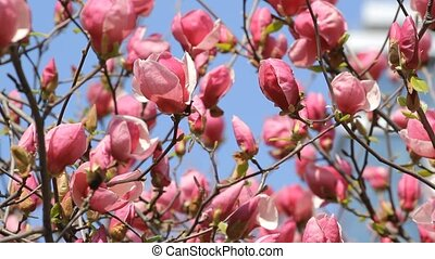 Magnolia flowers blossom on the blue sky
