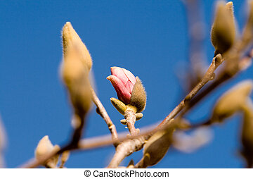 Magnolia Flowers Budding Early Spring Isolated