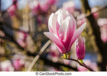 magnolia flowers close up on a blurred background - three...
