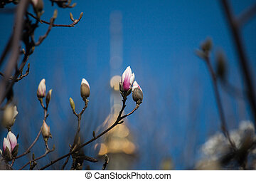 magnolia flowers in a spring garden on a sunny day