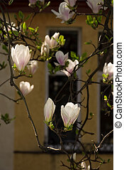 magnolia flowers in front of a window. beautiful spring...