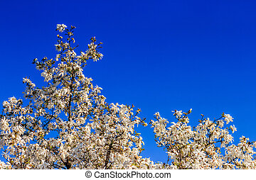 magnolia flowers on a blue sky background - white magnolia...