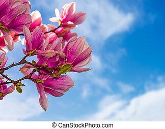 magnolia flowers on a blue sky background - magnolia flowers...