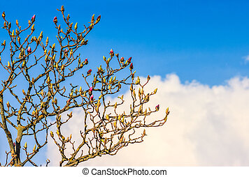 magnolia flowers on a blue sky background - white magnolia...