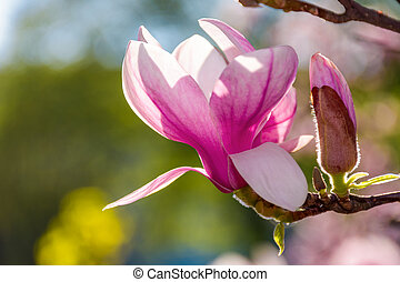 magnolia flowers on a blurry background - magnolia flowers...