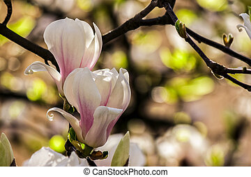 magnolia flowers on a blury background - magnolia flowers...