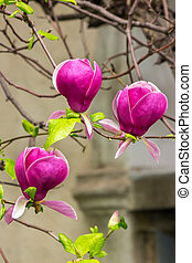 magnolia flowers on a blury background - barnch with...