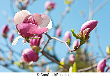 Magnolia flowers on the blue sky