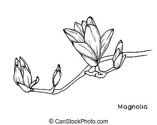Magnolia flowers. Realistic sketch of a blooming flower....