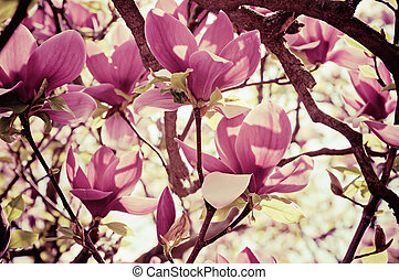 Magnolia flowers - Blossoming of magnolia flowers in spring...