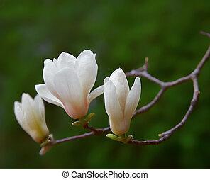 Magnolia flowers - White Spring magnolia flowers