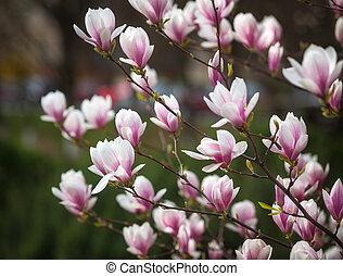 magnolia flowers - Soft focus image of blossoming magnolia...