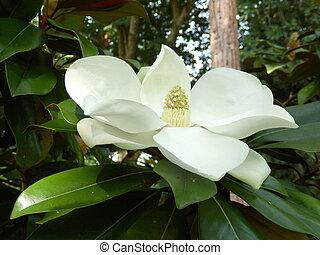 Magnolia Grandiflora aka Bullbay or Southern Magnolia, with ...