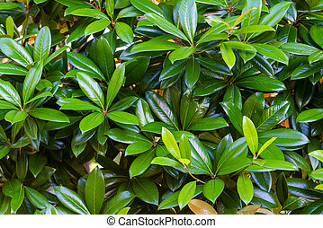 Magnolia green leaves in the garden. Leaves background.