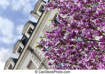 Magnolia in the city