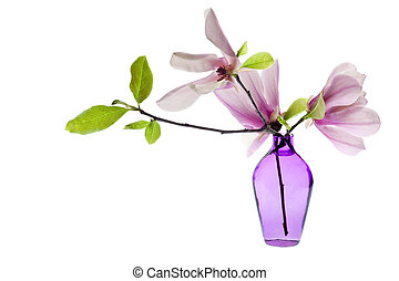 Magnolia Jane Blossoms in a purple vase isolated