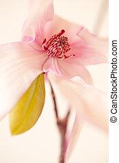 magnolia, jane, flor, en, rosa, y, blanco, hues