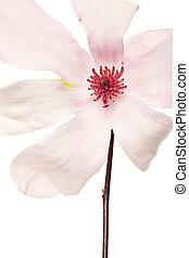 magnolia, jane, flores, en, rosa, y, blanco