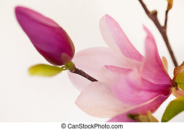 magnolia, jane, flores