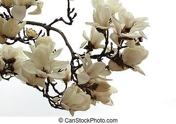 magnolia - korea