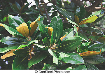 Magnolia leaves in tropical park as floral background. Close up.