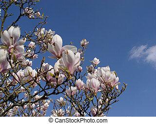 magnolia, +, nuage