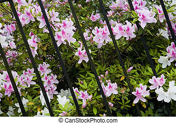 Magnolia Plantation and its Gardens near Charleston in South Carolina with Spring Azaleas blooming on an old plantation