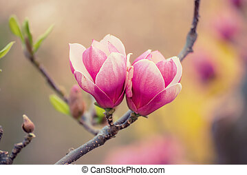 Magnolia spring flowers - Blossoming of pink magnolia ...