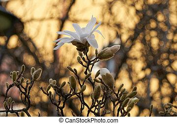Magnolia stellata white waterlily in the garden