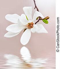 magnolia træ, blooming