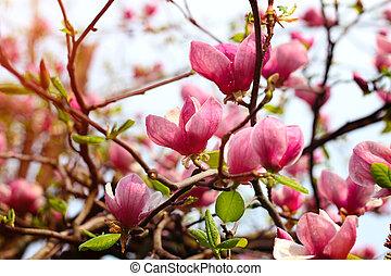 Magnolia tree blossom after rain