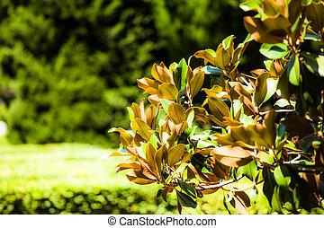 Magnolia tree in botanical garden in Spain