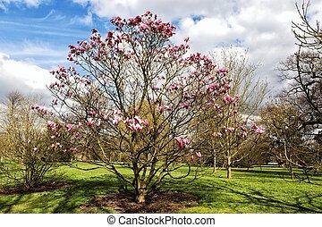Magnolia tree in Kew gardens, London