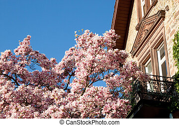 Magnolia tree - Blooming magnolia tree in front of an old...